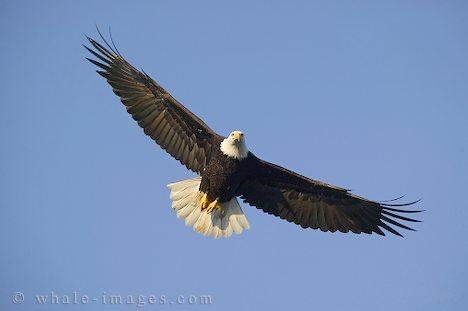 Soaring-bald-eagles_111