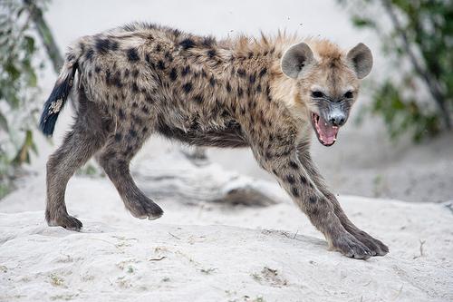 Hyena hi-ya