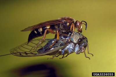 Cicada killer and cicada