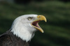 Ist1_3565143_bald_eagle_head_shot